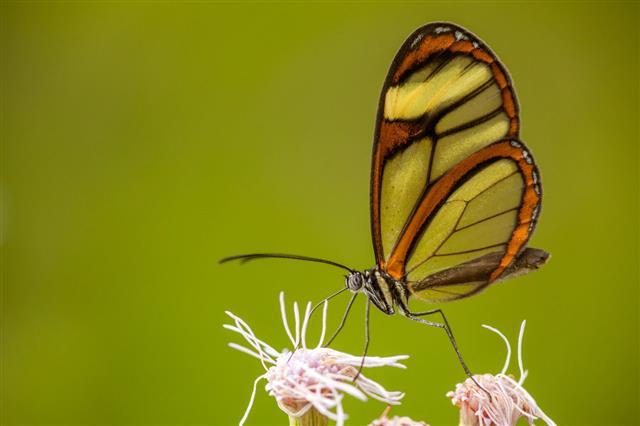 Glasswing Butterfly On Flower