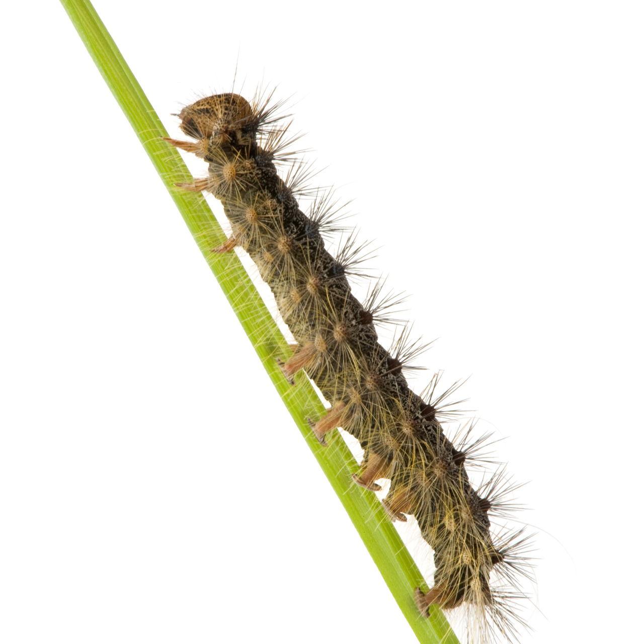 Moth Caterpillar Identification Chart: A Beginner's Guide To Caterpillar Identification