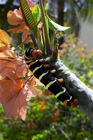 Frangipani Worm Caterpillar