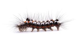 Moth Caterpillar Side View