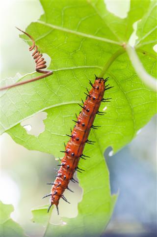 Gulf Fritillary Agraulis Vanillae Caterpillar