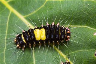 Erasmia Pulchella Caterpillar