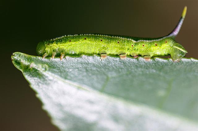 Indian Caterpillar On Tea Leaf
