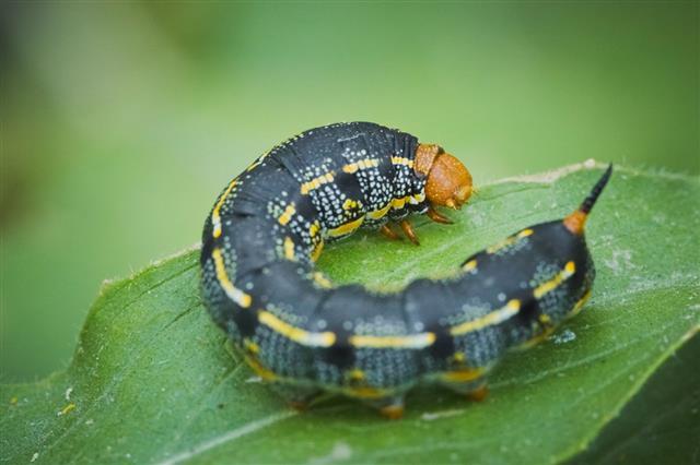 Black Caterpillar On Garden Leaf