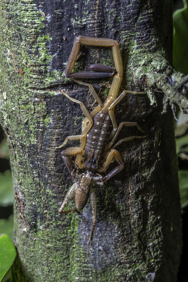 Scorpion Devouring Cricket