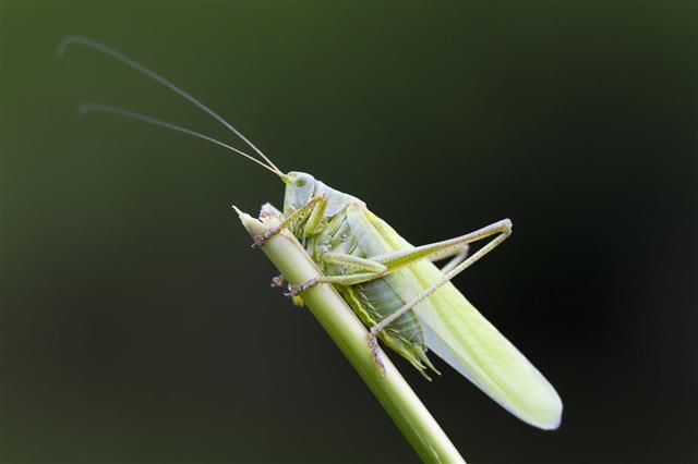 Great Green Bush Cricket Closeup