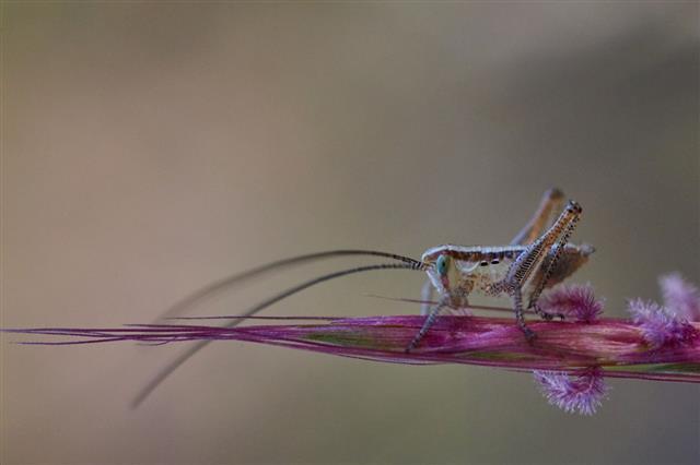 Isophya Bush Cricket