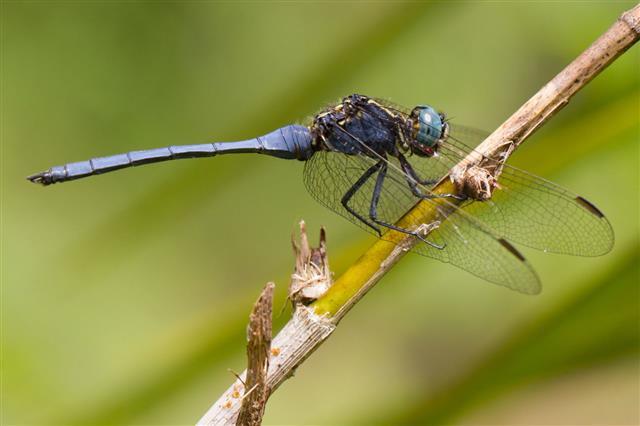 Dragon Fly Marsh Skimmer