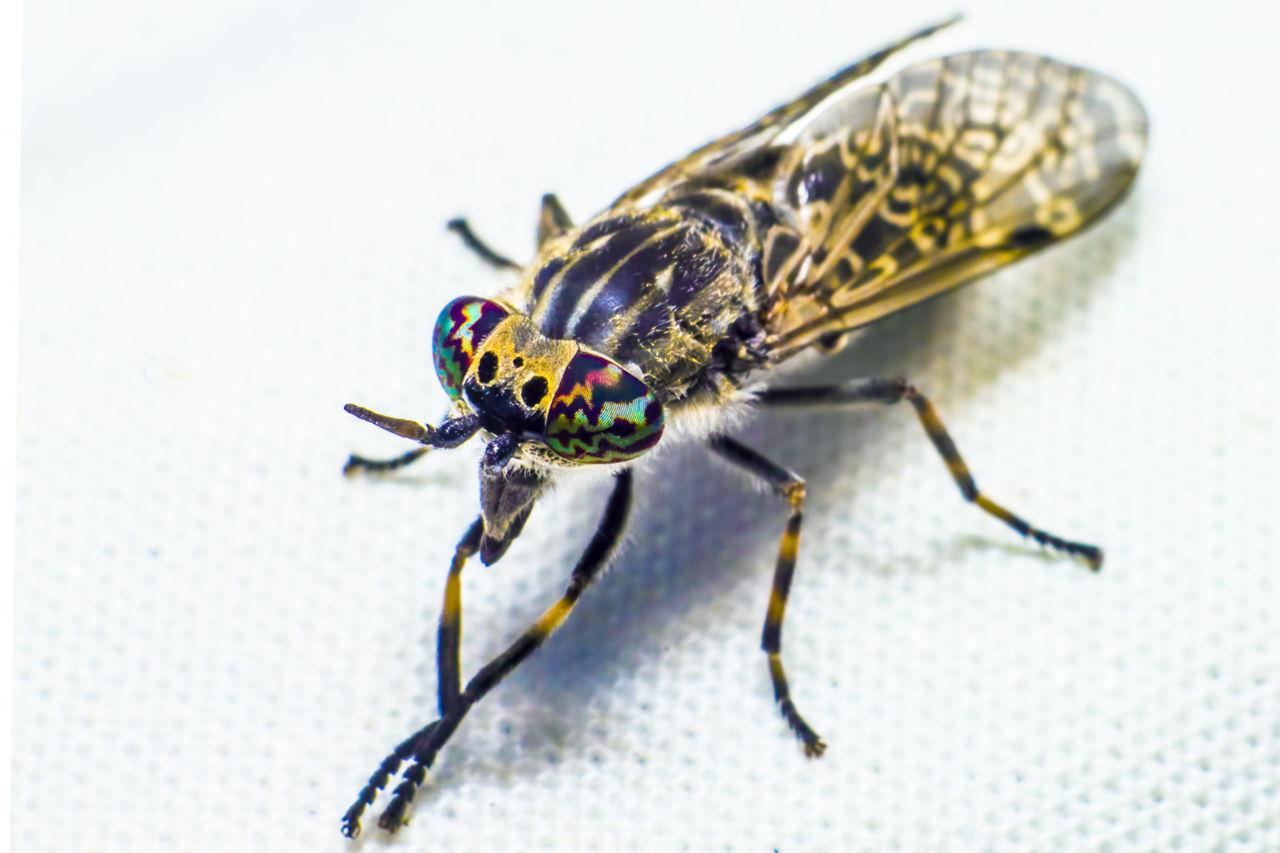 Horsefly Traps