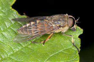 Tabanus Horsefly On Leaf Macro Photo