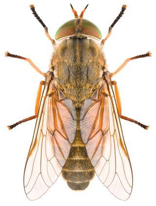 Female Horsefly