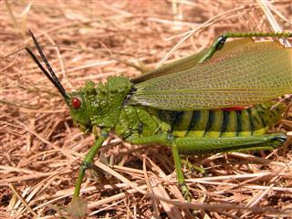 Huge African Grasshopper Closeup