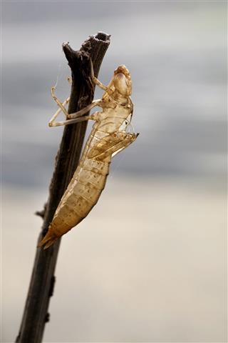 Eviscerated Grasshopper At Spider Web