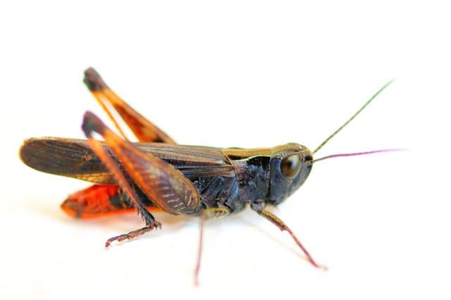Black Grasshopper On White