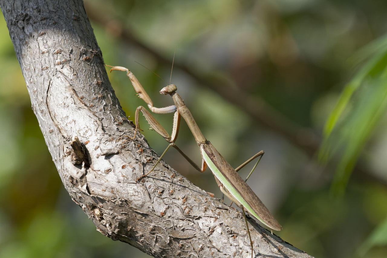 Northern Praying Mantis - Wikipedia