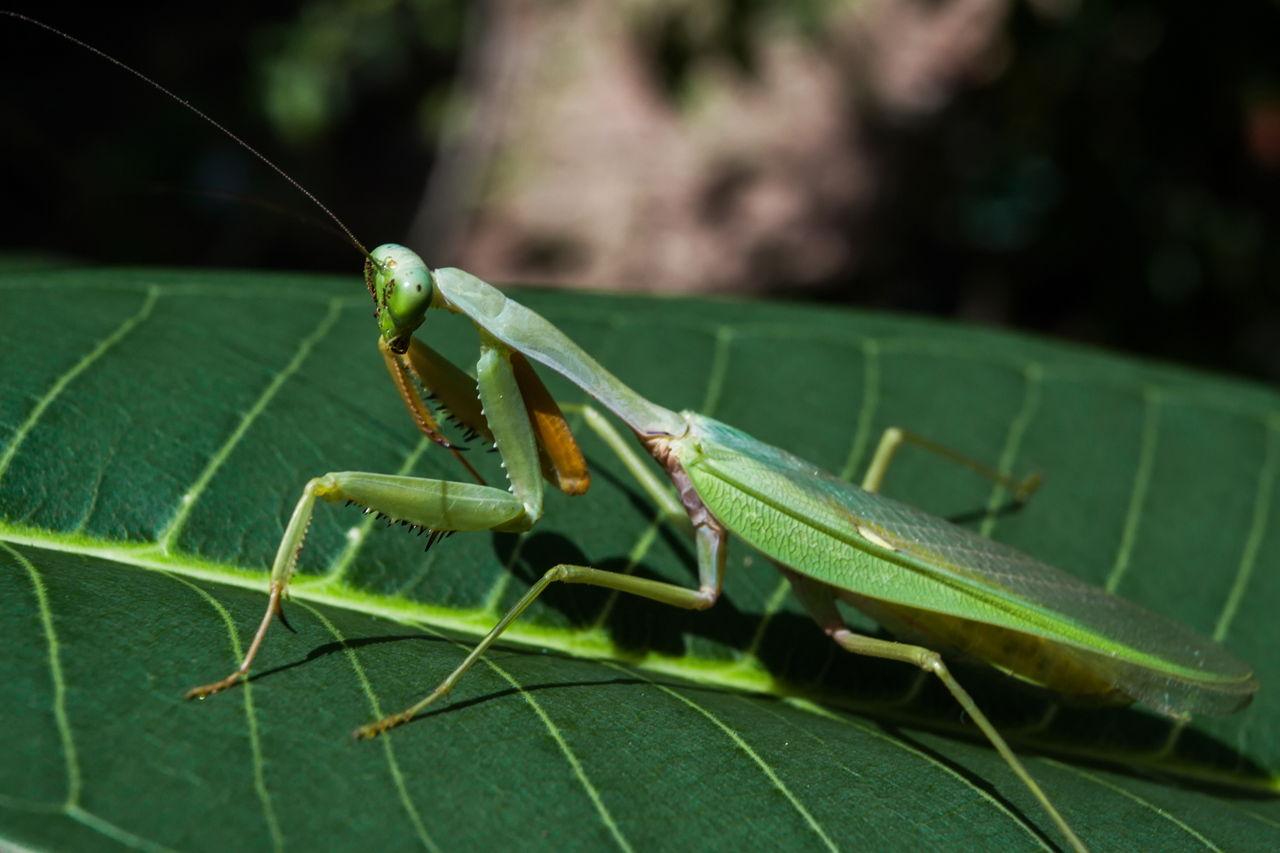 Praying Mantis Eggs Praying Mantis Food: A...