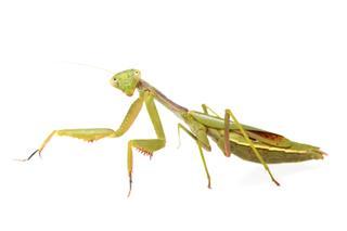 Isolated Praying Mantis