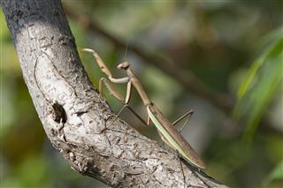 Brown Chinese Praying Mantis Walking