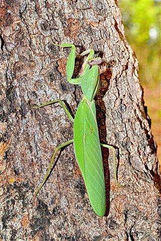 Green Praying Mantis On Tree Bark