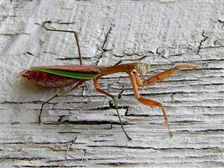 Mantis Mischief