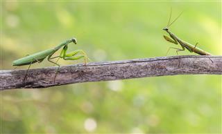 Praying Mantis On The Branch