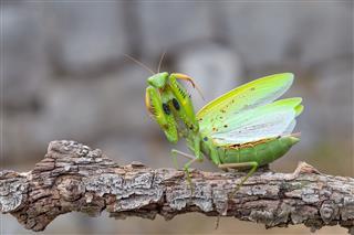 Praying Mantis On Branch
