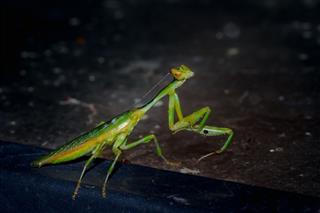 Green Praying Mantis South Africa