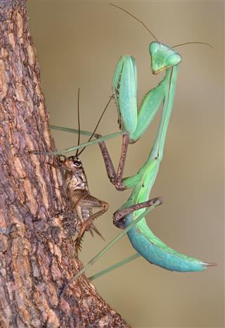 Mantis With Prey