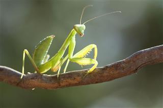 Beauty Mantis
