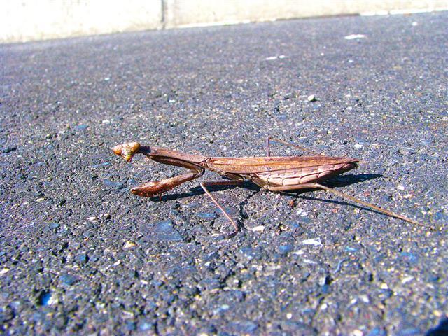 Praying Mantis On Rural Roadside