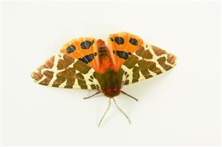 Moth On White