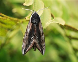 Dorsal Image Privet Hawk Moth