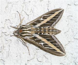 Striped Hawkmoth