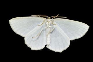 Moth Full Underside Macro