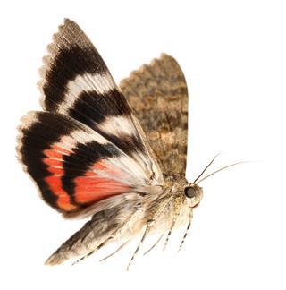 Moth Flying