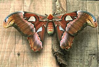 Huge Female Of Atlas Moth