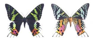 Urania Ripheus Female Sunset Moth