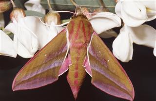 Elephant Hawk Moth Imago