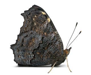 European Peacock Moth
