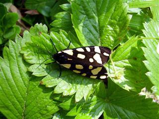 Cream Spot Tiger Moth