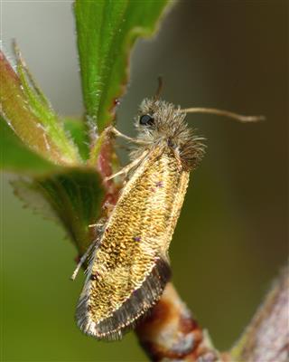Dyseriocrania Subpurpurella Micro Moth