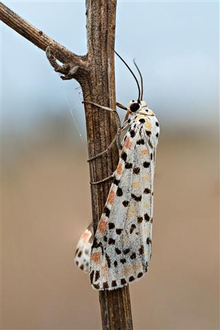 Utetheisa Pulchella Moth