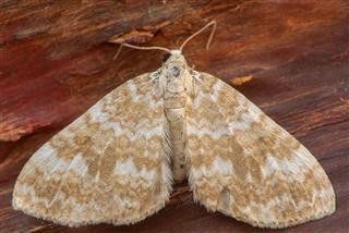 Sandy Carpet Moth