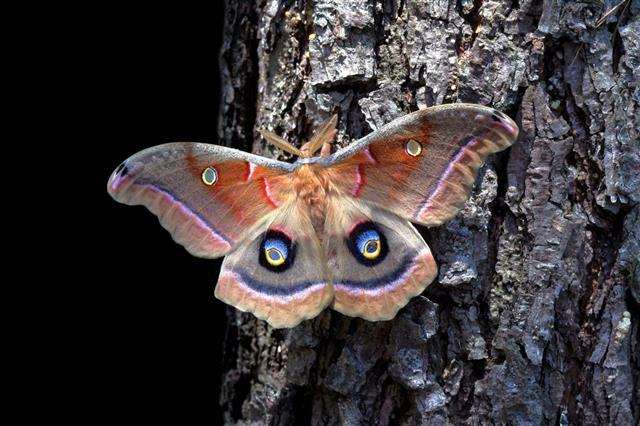 Polyphemus Gypsy Moth