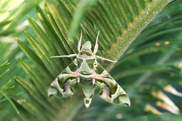 Hawkmoth On Leaf
