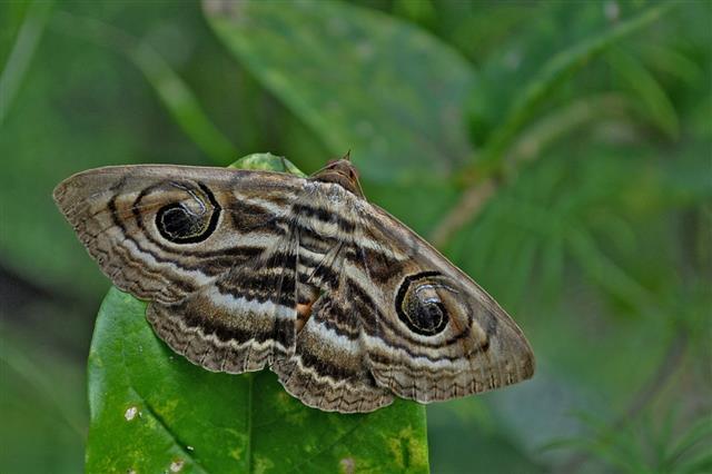Owl Eyed Moth