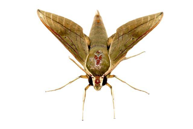 Hawk Moth On White Background