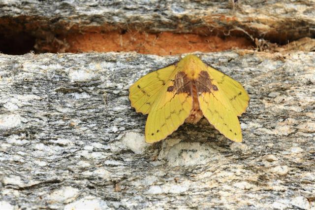 Big Yellow Moth