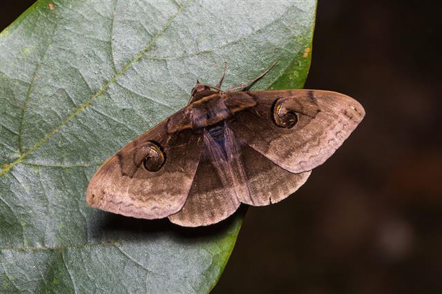 Indian Owlet Moth On Green Leaf
