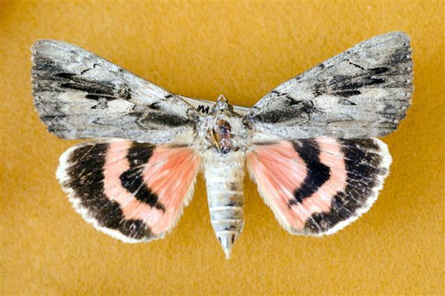 Sweetheart Underwing Moth